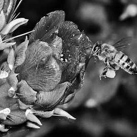 Bee flying to bloom by David Winchester - Black & White Animals