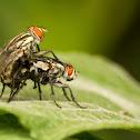 Mating Flesh Flies