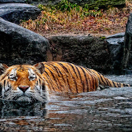 by John Larson - Animals Lions, Tigers & Big Cats