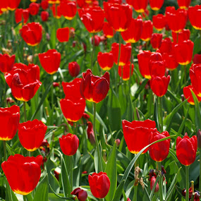 Too-Lips by Theodore Schlosser - Nature Up Close Flowers - 2011-2013 ( field, red, green, tulips, flowers )