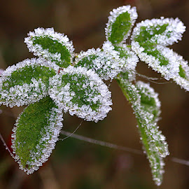 Iced Leaves by Chrissie Barrow - Nature Up Close Leaves & Grasses ( nature, green, white, frost, iced, leaves, bokeh, closeup )