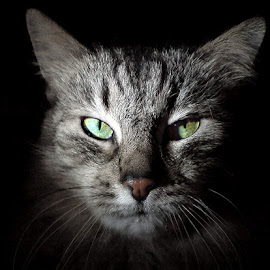 Soldier of luck by Jurijs Ratanins - Animals - Cats Portraits ( look, mobilography, cat, portrait, animal )