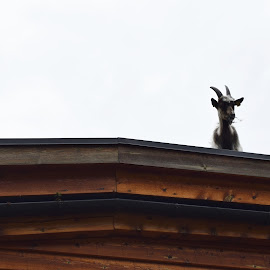 Goat in a roof by Ester Ayerdi - Animals Other Mammals ( goats, roof, goat, funny, animal,  )
