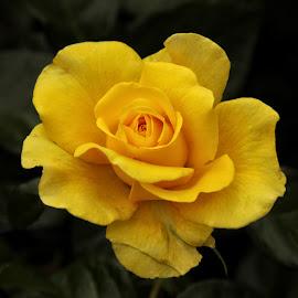 GOR rose 92 16 by Michael Moore - Flowers Single Flower