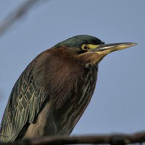 Green heron by Dave . - Animals Birds ( bird, wild, wading bird, nature, green heron, arizona, wildlife, heron )
