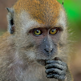 Contemplating monkey by Francois Wolfaardt - Animals Other Mammals ( hand, macro, macaque, contemplation, juvenile, close-up, monkey, eyes, animal,  )