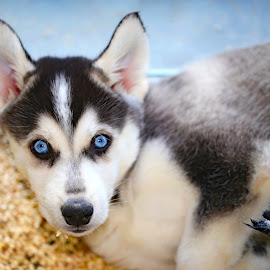Blue Eyes by Michelle Ubriaco - Animals - Dogs Puppies ( puppies, dogs, siberian husky, huskies, pets, blue eyes, puppy )