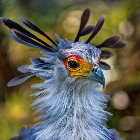 Secretary Bird by Lisa Coletto - Animals Birds ( bird, funky bird, avian, secretary bird,  )
