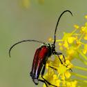 Flower longhorn beetle; Escarabajo longicornio de las flores