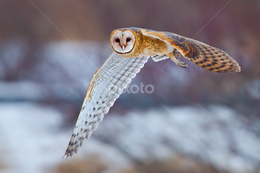 Barn Owl by Herb Houghton - Animals Birds ( bird of prey, nocturnal, barn owl, owl, raptor )