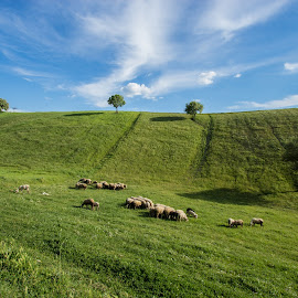 Win Desktop Eaten By Sheeps by Tolga Özdemir - Landscapes Prairies, Meadows & Fields ( destop, sky, nature, blue, grass, green, meadow, windows, sheep )