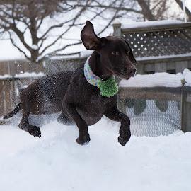 Jess by Krista Allen - Animals - Dogs Running ( winter, jessie, backyard, running )