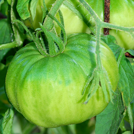 Green Tomatoes by Jane Spencer - Nature Up Close Gardens & Produce ( plant, annual, tomato, food, green, garden, produce )