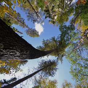 Tall Pines by Deb Dicker - Nature Up Close Trees & Bushes (  )