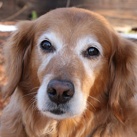 Wise Soul by Kari Schoen - Animals - Dogs Portraits ( canine, wise, beautiful, dog, senior, golden retriever )