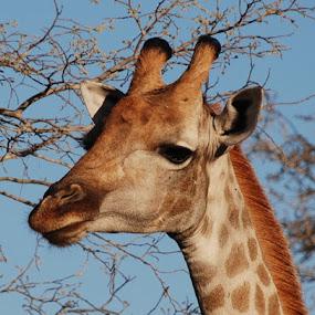 Girafe, Okavango Delta, Botswana by Isabelle Ebens - Animals Other Mammals ( okavango, botswana, giraffe, safari, africa )