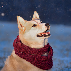 Snow Dog by Becky Kempf - Animals - Dogs Portraits ( snow, husky, night, scarf, dog )
