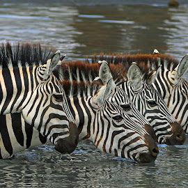 Thirsty! by Anthony Goldman - Animals Other Mammals ( water, east africa., wild, nature, drinking, tarangire, wildlife, zebra, tanzania, mammal,  )