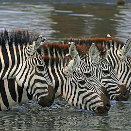 Thirsty! by Anthony Goldman - Animals Other Mammals ( water, east africa., wild, nature, drinking, tarangire, wildlife, zebra, tanzania, mammal )
