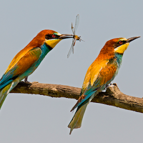 European bee-eater with dragonfly by Simon Kovacic - Animals Birds ( european bee-eater, merops apiaster, birds )