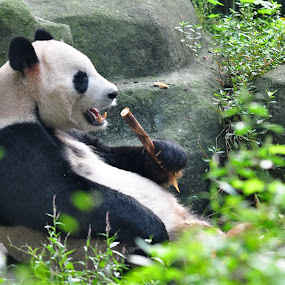 Panda by Mohamad Shahreen - Animals Other Mammals