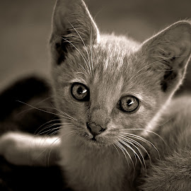 Gin-Kitten by Pieter J de Villiers - Black & White Animals