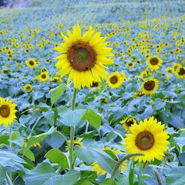 Sunflowers by Holly Hatcher - Uncategorized All Uncategorized ( #popefarms, #beautifulday, #love, #sunnydays, #sunflowerlove )