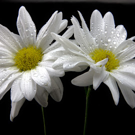 White Daisey Duo by Cal Brown - Flowers Flower Arangements ( flower up close, white flowers, two, daisies, flowers, close up, flower photography )