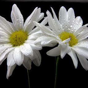White Daisey Duo by Cal Brown - Flowers Flower Arangements ( flower up close, white flowers, two, daisies, flowers, close up, flower photography,  )