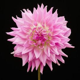 Many petal Dahlia by Jim Downey - Flowers Single Flower