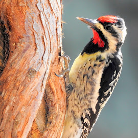 friendly feathers  by Jodi Iverson - Novices Only Wildlife ( bird, tree, nature, feathers, sapsucker )