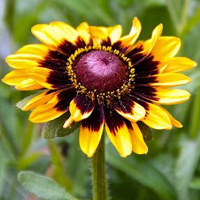 Single Flower #1 by D. Bruce Gammie - Flowers Single Flower ( summer, victoria, yellow, flower, butchart gardens )