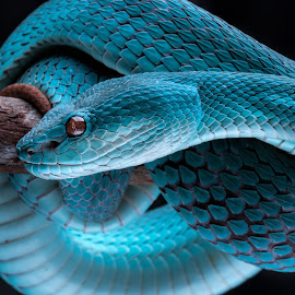 Blue White-lipped Pit Viper  by Joyce Chang - Animals Reptiles ( poisonous, snake, pit viper, trimeresurus albolabris insularis, venomous,  )