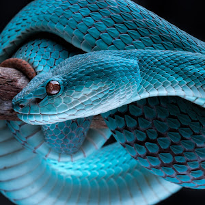 BLUE SNAKE CLOSE UP.jpg