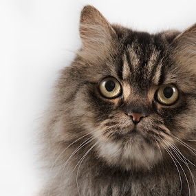 Coco by Leticia Cox - Animals - Cats Portraits ( portraiture, cats,  )