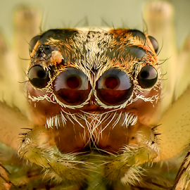 Baby Harbonittus by Dave Lerio - Animals Insects & Spiders