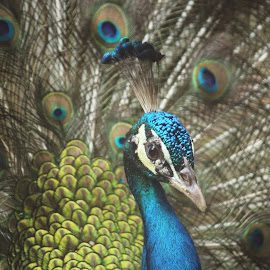Peacock by Rajdeep Mukherjee - Animals Birds
