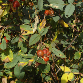 Rose Hip Tea, Anyone? by Gareth Evans BA Hons - Nature Up Close Other plants