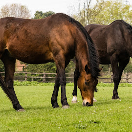 Graze by Chris Haswell - Animals Horses ( houses, grazing, grass, green, brown )