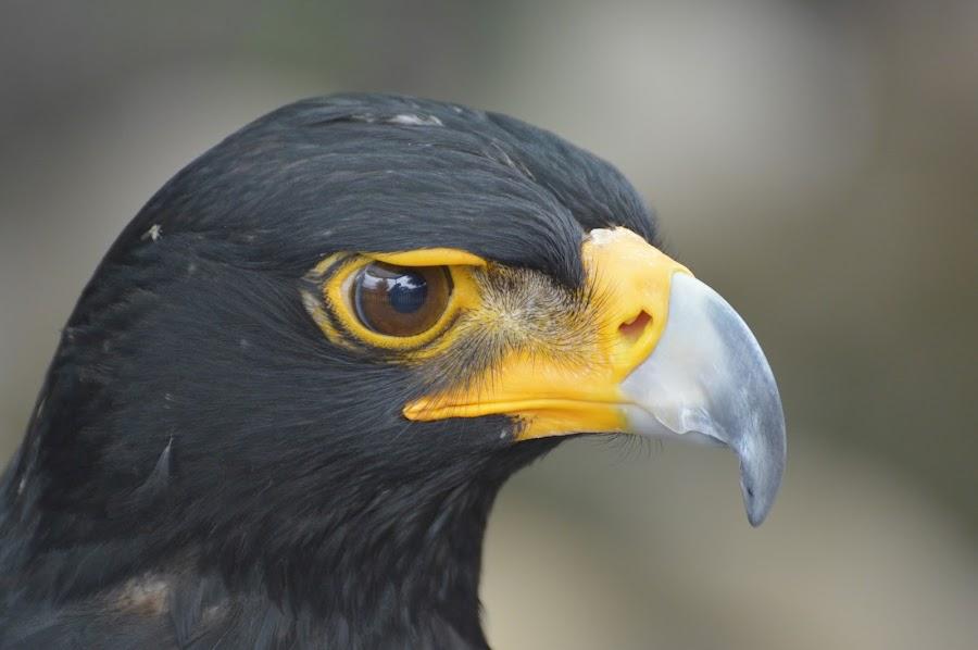 Black Eagle  by Anneke De Matos Preto - Animals Birds ( eagle, bird of prey, black eagle, eagles, birds, bird photography,  )