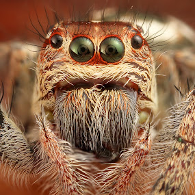 Spider by Asher Lwin - Animals Insects & Spiders ( macro, nature, jumpingspider, closeup, eyes )