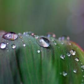 After the rain by Agustina Ardiwinata - Nature Up Close Natural Waterdrops ( water drops, green, dew, leaves, rain )