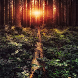 Forest light by Vladimir Div  - Landscapes Forests ( nature, autumn, trees, forest, landscape, light )