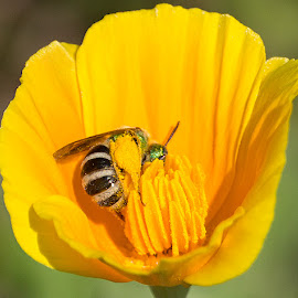 Metallic green sweat bee on a California poppy by Michael Velardo - Animals Insects & Spiders ( eschscholzia californica, green sweat bee, wildlife, california poppy, insect )