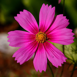 Cosmos by Gérard CHATENET - Flowers Single Flower