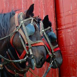 2 horses resting by Jon Radtke - Animals Horses ( 2 horses resting,  )