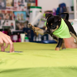 by Hoover Tung - Animals - Dogs Puppies ( green, bed, pup, funny, little, cute, young, canine, doggy, happy, pet, puppy, adorable, purebred, chihuahua, dog, small, black, animal )