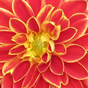 Orange Dahlia by Viive Selg - Nature Up Close Flowers - 2011-2013 ( flower, nature, flowers,  )