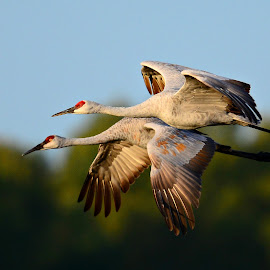 Sandhill cranes by Ruth Overmyer - Animals Birds