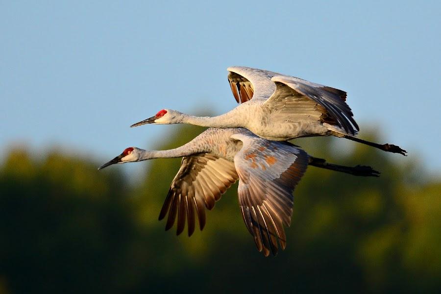 Sandhill cranes by Ruth Overmyer - Animals Birds (  )